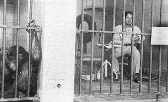 """Homo Sapiens"" happening in 1977. Pimenta occupies a cage in the chimpanzee row in the Lisbon Zoo."