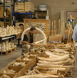 Twelve thousand pounds of ivory that was destroyed in 2013 in Hong Kong.