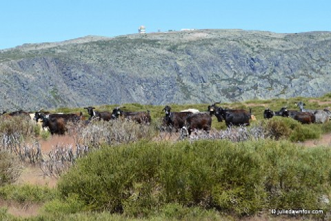 "Goats grazing at the top of Serra da Estrela. In the background is the ""Torre"", the highest point in Portugal."