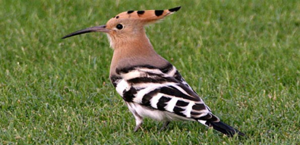 Hoopoes nest most commonly in the holes of trees, but are also known to use buildings and ground holes.